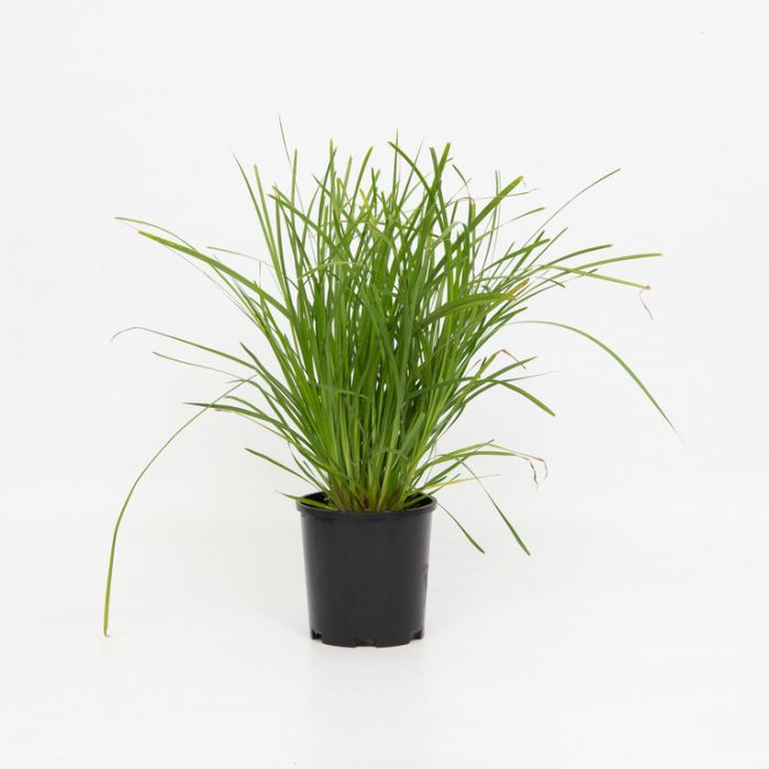 Lomandra Little Pal  ] 9319762000434P - Flower Power