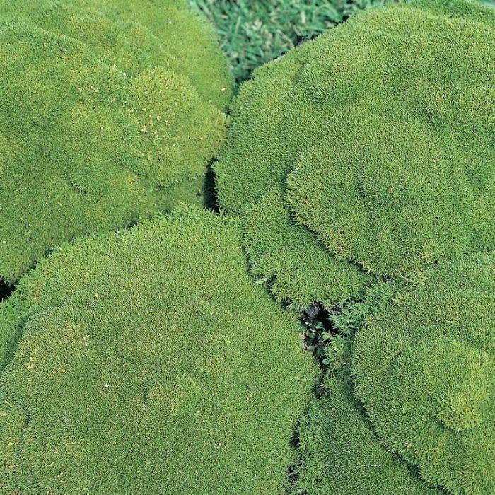 Scleranthus Uniflorus  ] 9319762006214 - Flower Power