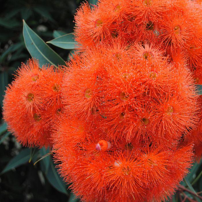 Flowering Gum Baby Orange  ] 9319762556160P - Flower Power