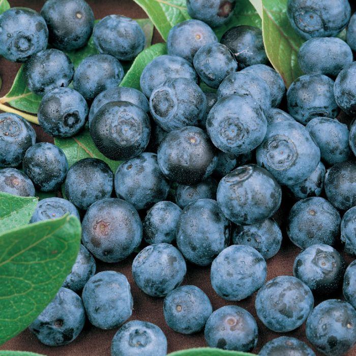Blueberry Sunshine Blue  ] 9319762650813P - Flower Power