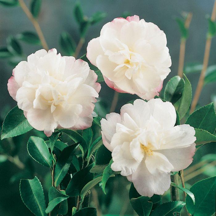 Camellia sasanqua 'Pure Silk'  ] 9319980325135 - Flower Power