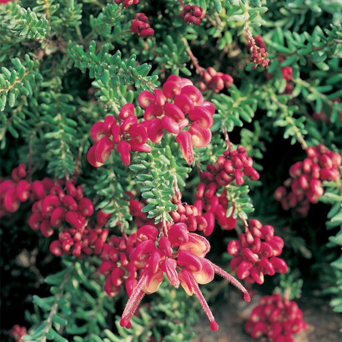Grevillea Mt Tamboritha  ] 9319980329508P - Flower Power