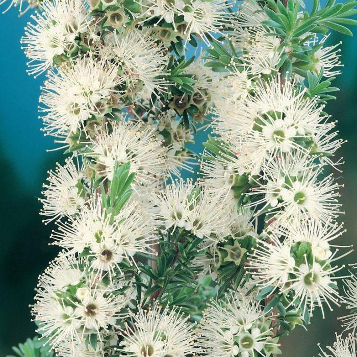 Kunzea ambigua  ] 9319980344310P - Flower Power