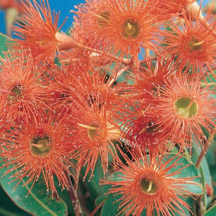 Flowering Gum Orange Splendour  ] 9319980354388 - Flower Power
