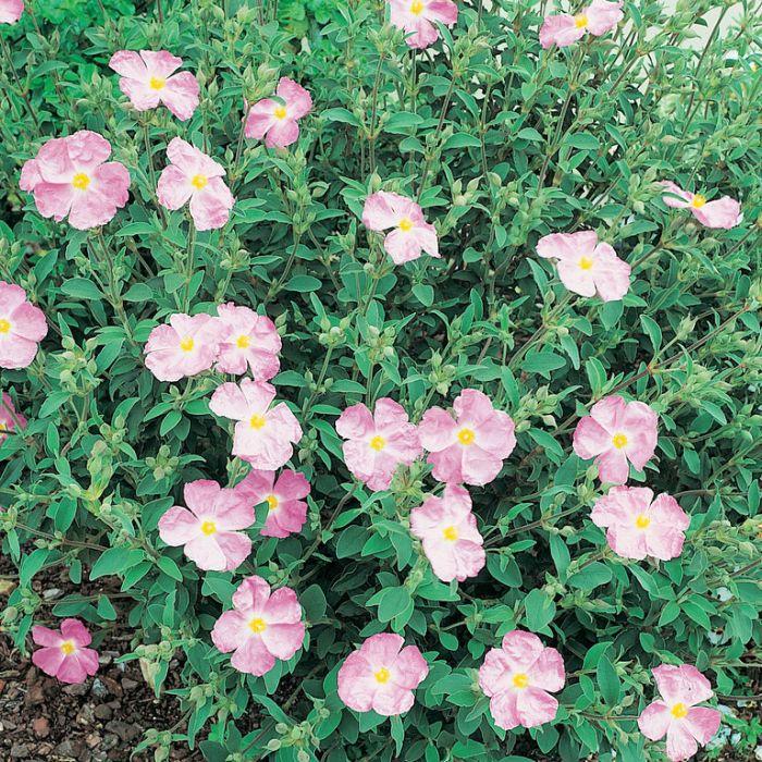 Cistus Silver Pink  ] 9321846002791 - Flower Power