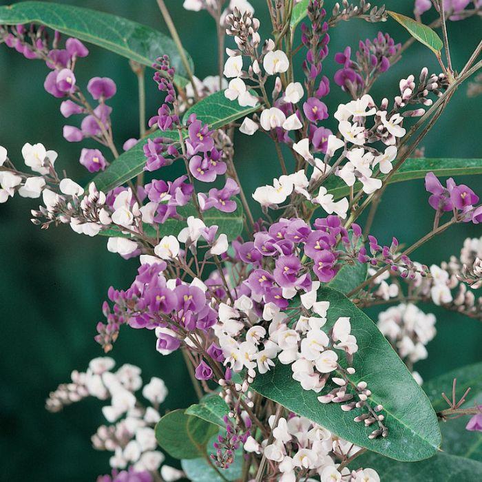 Hardenbergia Happy Duo  ] 9321846005150P - Flower Power