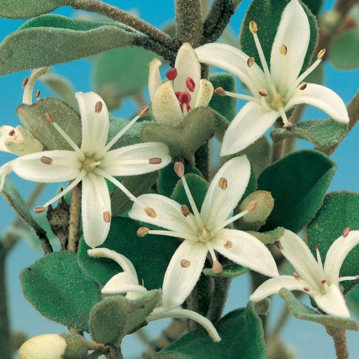 Correa alba  ] 9321846019157P - Flower Power