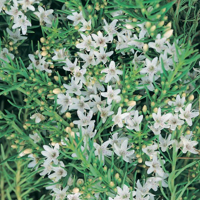 Myoporum Fine Leaf  ] 9321846020726P - Flower Power