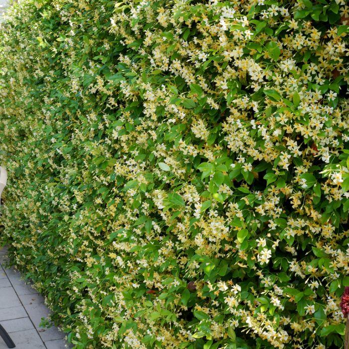 Trachelospermum 'Star of Toscan'  ] 9321846024922P - Flower Power