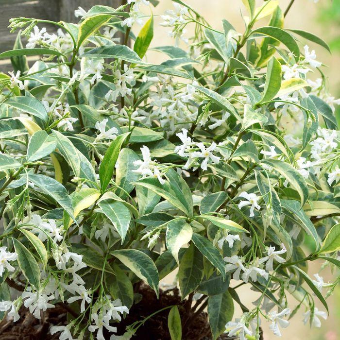 Trachelospermum 'Sunlover'  ] 9321846025196P - Flower Power
