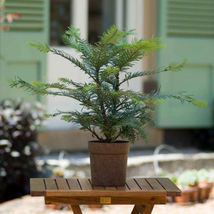 Wollemi Pine  ] 9322099011271P - Flower Power