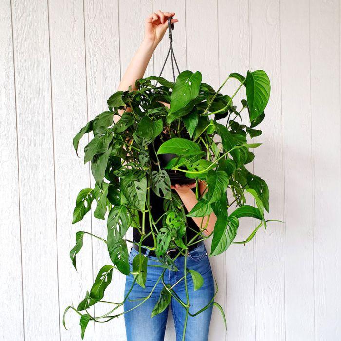 Monstera Lechleriana Hanging Basket  ] 9324228003492 - Flower Power