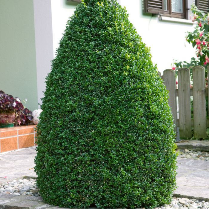 English Box Topiary Dome  ] 9324787000307P - Flower Power