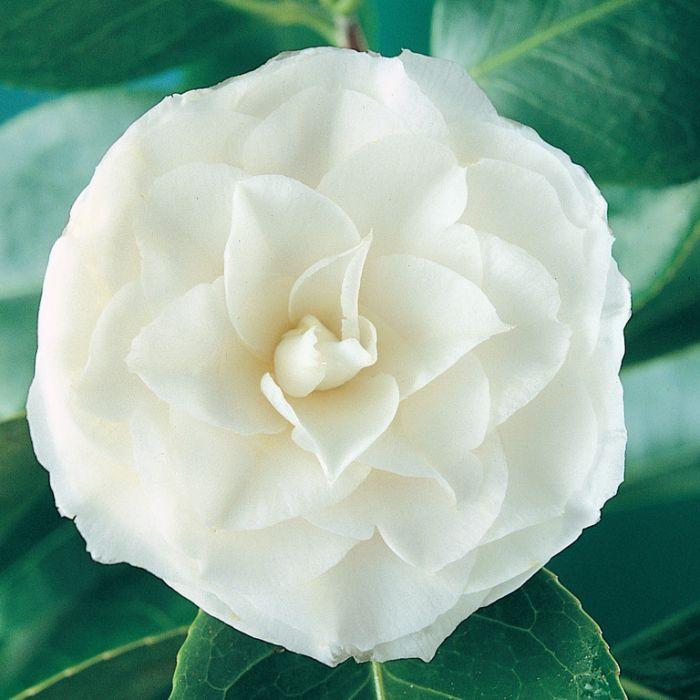 Camellia Snow Standard  ] 9324787008136 - Flower Power