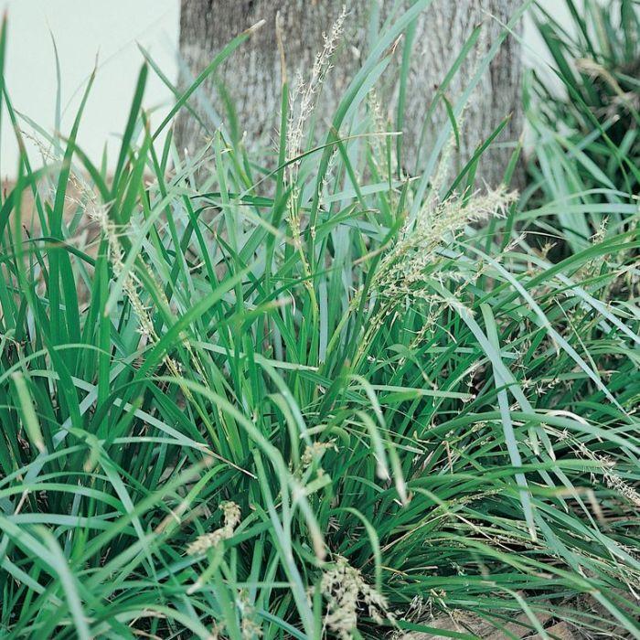 Lomandra longifolia  ] 9324806000752P - Flower Power