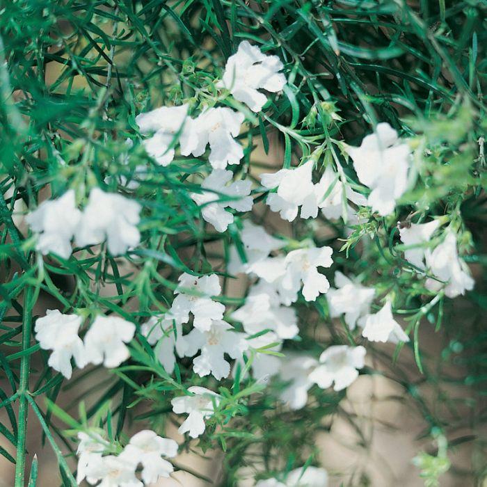 Westringia longifolia  ] 9324806010232P - Flower Power