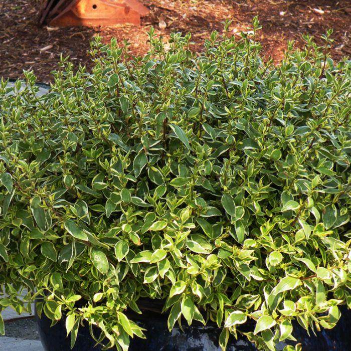 Abelia Lime Splice  ] 9324806011703P - Flower Power