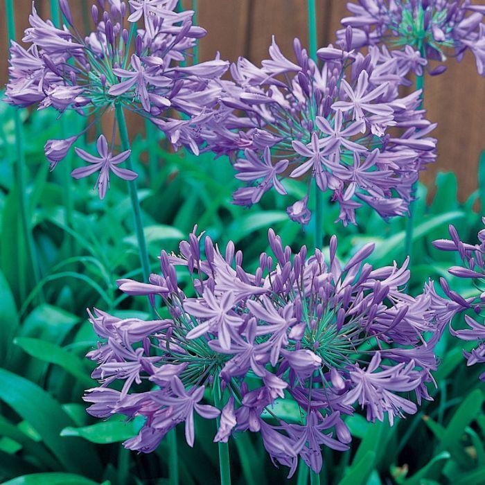 Agapanthus Blue Storm  ] 9326974046877 - Flower Power