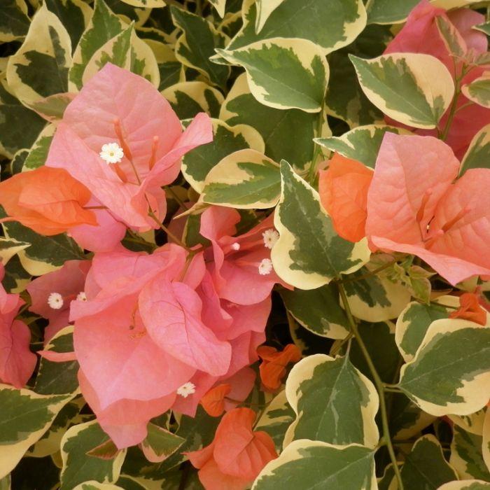 Bougainvillea Bengal Orange  ] 9326974057224P - Flower Power