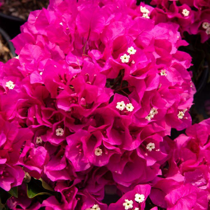 Bougainvillea Vera Deep Purple  ] 9326974057293P - Flower Power