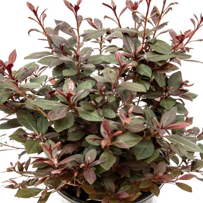 Azalea Shiraz Standard  ] 9336536001077P - Flower Power