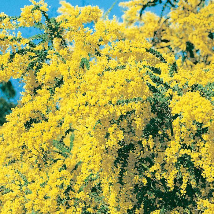 Little Nugget Wattle  ] 9336922000189P - Flower Power