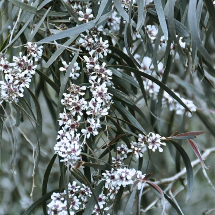 Purple-leafed Willow Myrtle  ] 9336922000400P - Flower Power