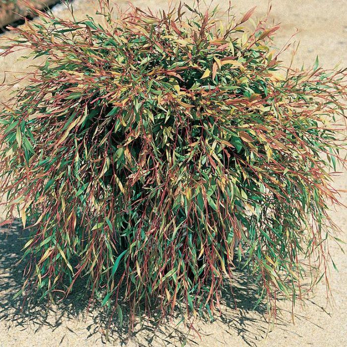 Dwarf Willow Myrtle  ] 9336922000431P - Flower Power