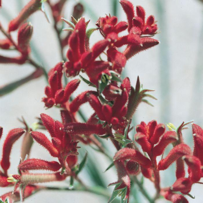 Kangaroo Paw Big Red  ] 9336922000585 - Flower Power