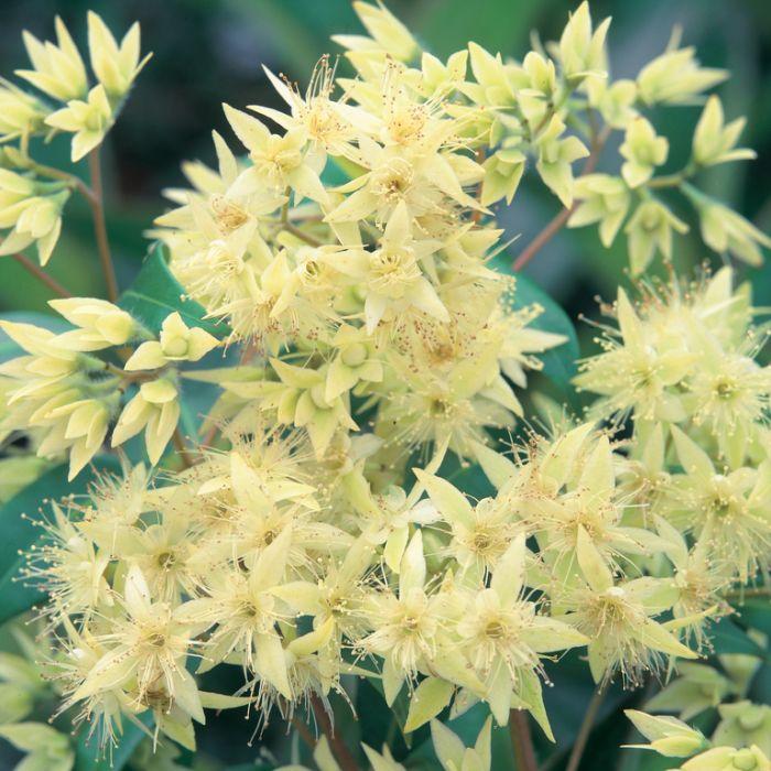 Backhousia Myrtifolia  ] 9336922000950P - Flower Power