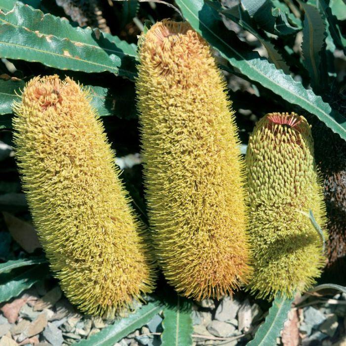 Banksia Petiolaris  ] 9336922001247 - Flower Power