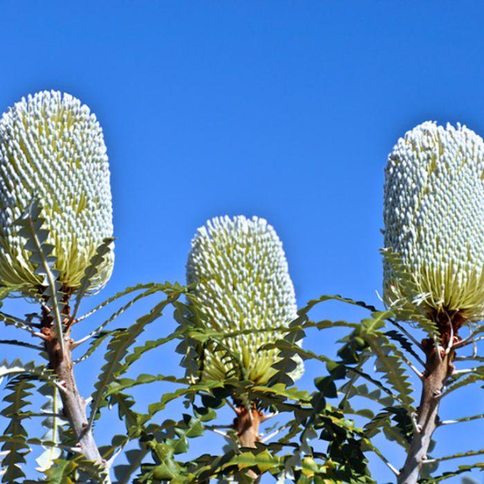 Banksia Speciosa  ] 9336922001315 - Flower Power