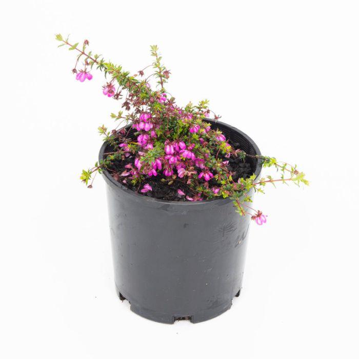 Bauera Candy Stripe  ] 9336922001384 - Flower Power