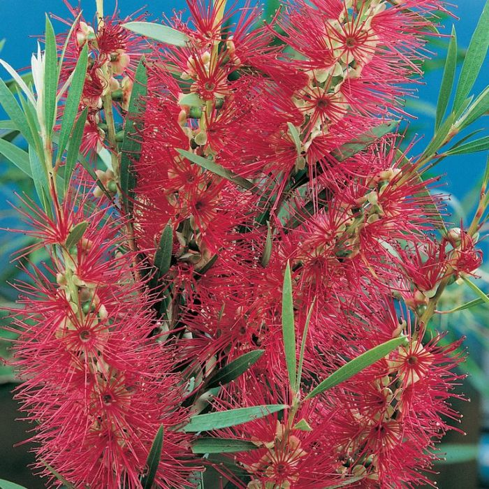 Bottlebrush 'Dawson River Weeper'  ] 9336922001766P - Flower Power
