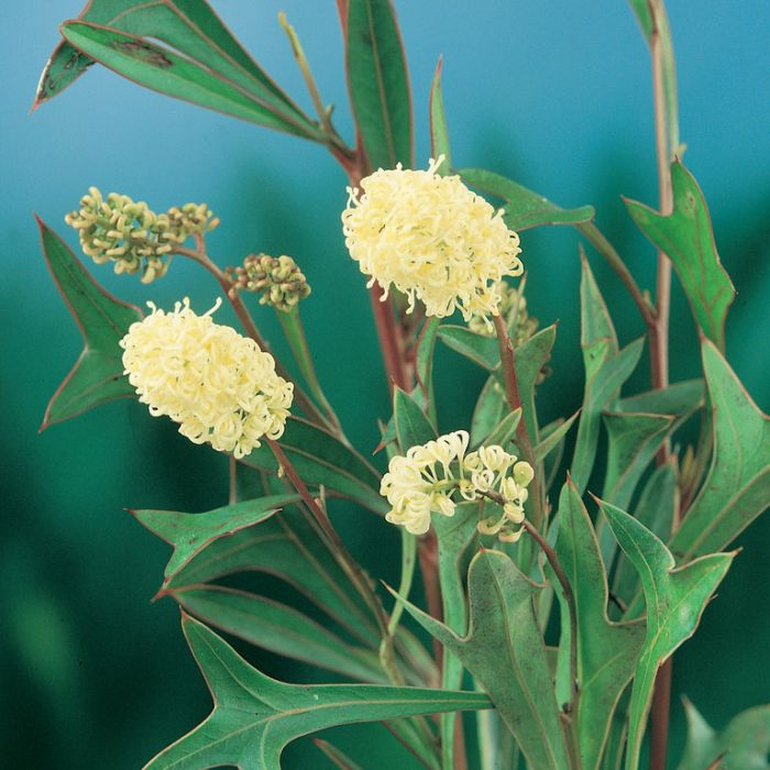 Grevillea synapheae  ] 9336922004149 - Flower Power