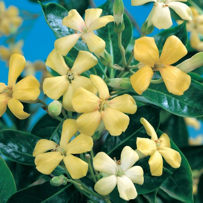 Hymenosporum flavum  ] 9336922004637P - Flower Power