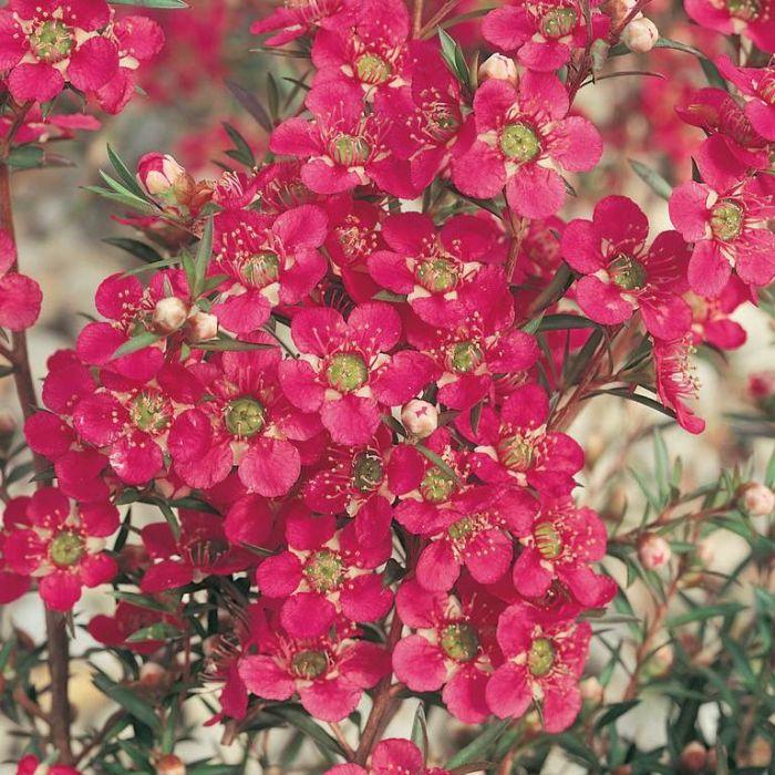 Tea Tree Merinda  ] 9336922004866 - Flower Power