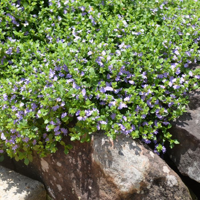 Scaevola Mauve Carpet  ] 9336922005931 - Flower Power