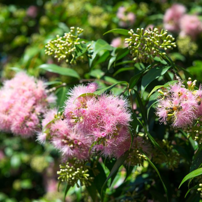 Lilly Pilly Cascade  ] 9336922006143P - Flower Power