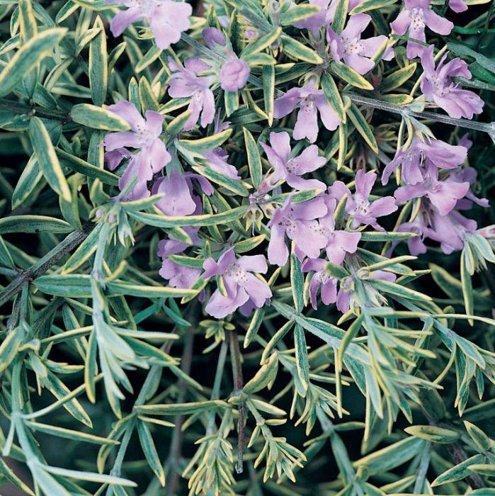 Westringia Wynyabbie Highlight  ] 9336922006549 - Flower Power