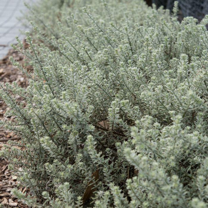 Westringia Smokey  ] 9336922006563P - Flower Power
