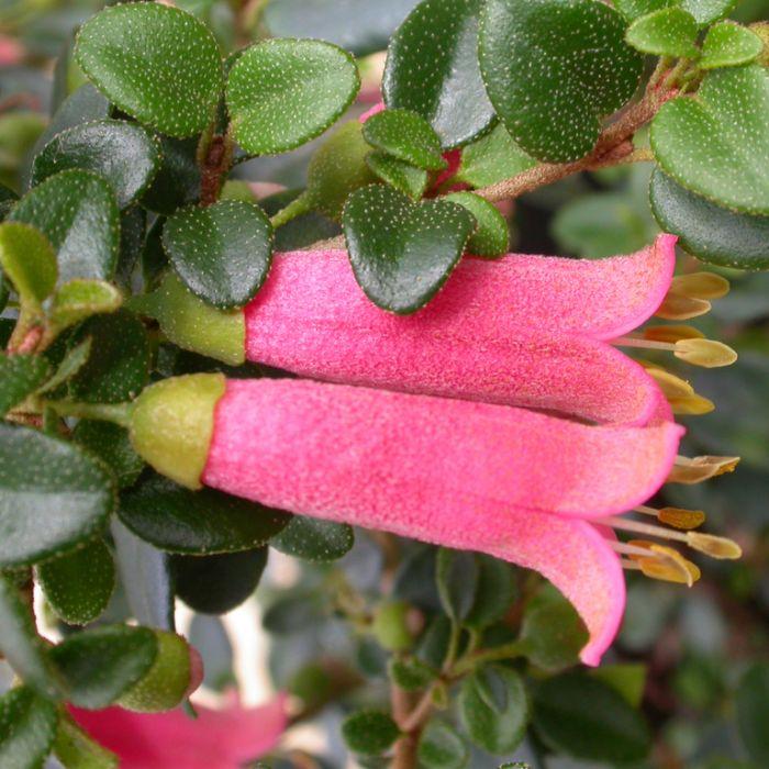 Correa Little Cate  ] 9336922009373P - Flower Power