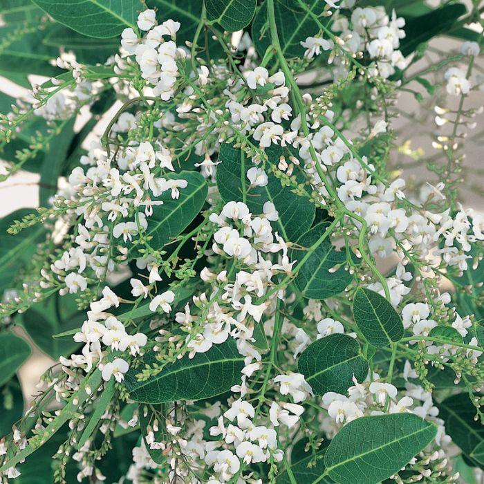 Hardenbergia Snow White  ] 9336922010157P - Flower Power