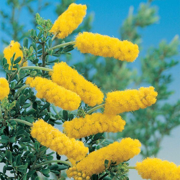 Drummond's Wattle  ] 9336922010607 - Flower Power