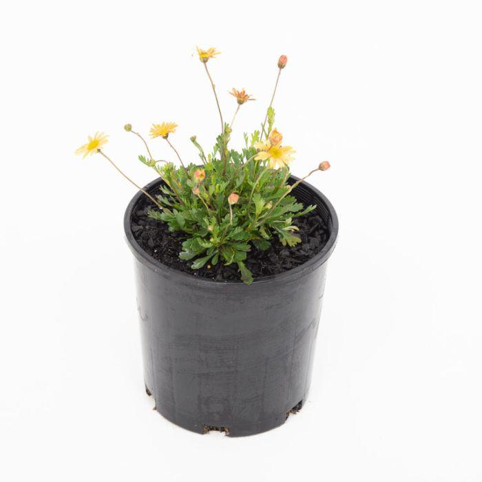Brachyscome Pacific Sun  ] 9336922011215 - Flower Power