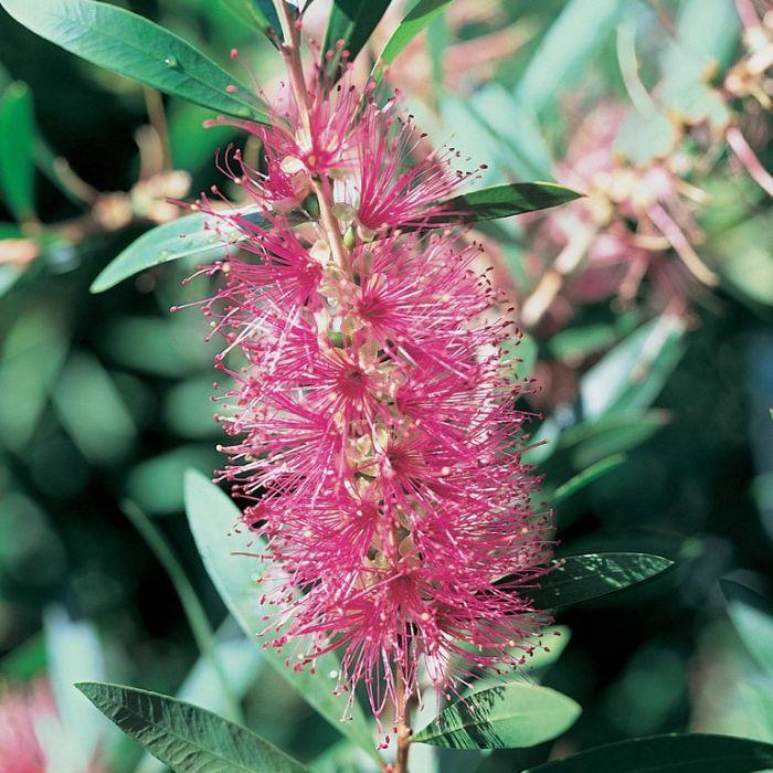 Bottlebrush 'Perth Pink'  ] 9336922013554 - Flower Power