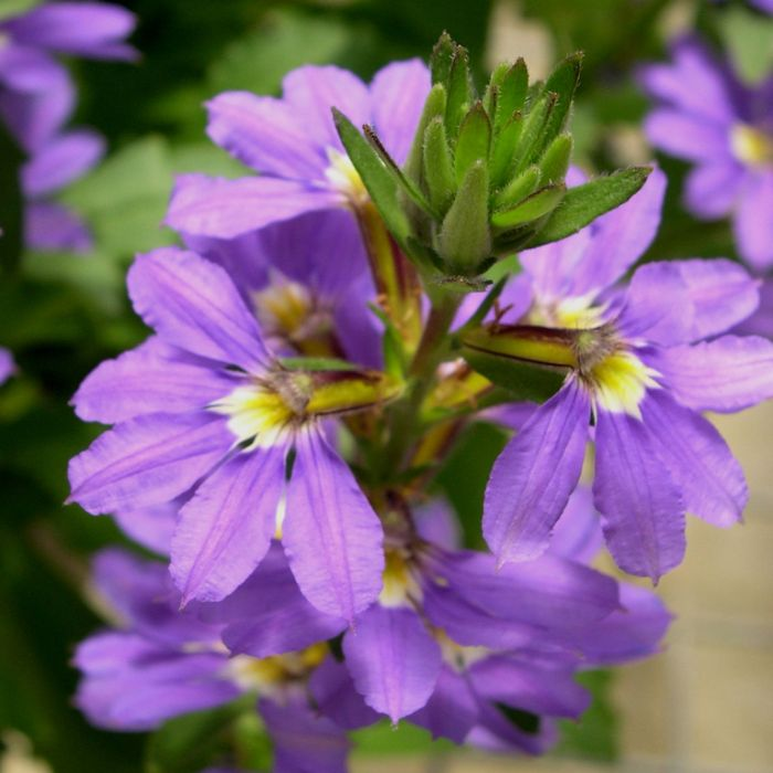 Scaevola Aussie Salute  ] 9336922014391 - Flower Power