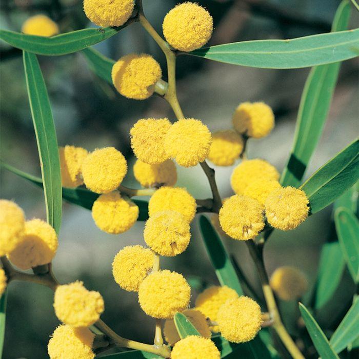 Barrier Range Wattle  ] 9336922020255P - Flower Power