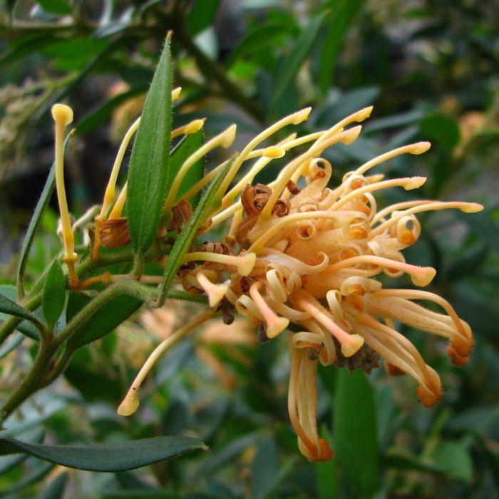 Grevillea Deua Gold  ] 9336922023966 - Flower Power