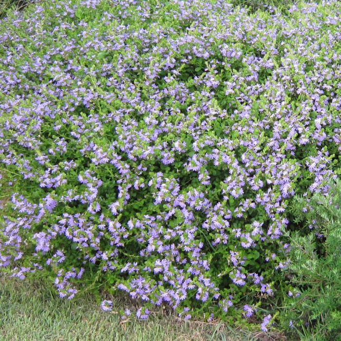 Scaevola Purple Fusion  ] 9336922028589 - Flower Power